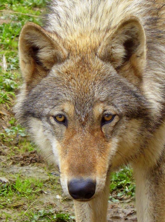 Cara e cabeça de um lobo euro-asiático imagem de stock royalty free