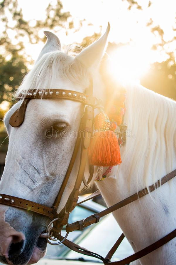 A cara e a juba do garanhão branco bonito fotografia de stock