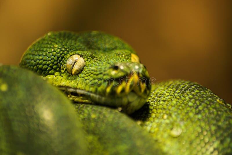cara e olhos da serpente verde bonita imagem de stock royalty free