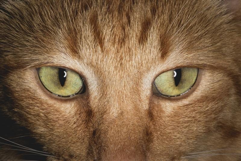 A cara e os olhos alaranjados do gato fecham-se acima imagens de stock