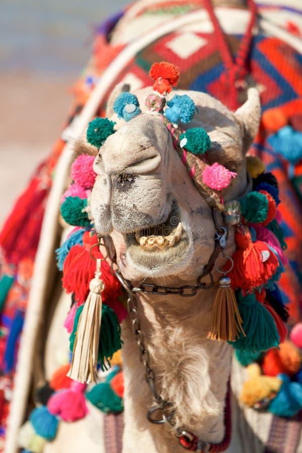 Cara engraçada do camelo - mostrando os dentes imagens de stock royalty free