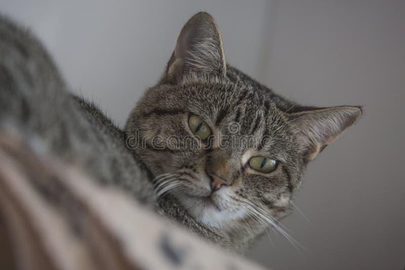 Cara engraçada do gato que levanta à câmera fotografia de stock royalty free