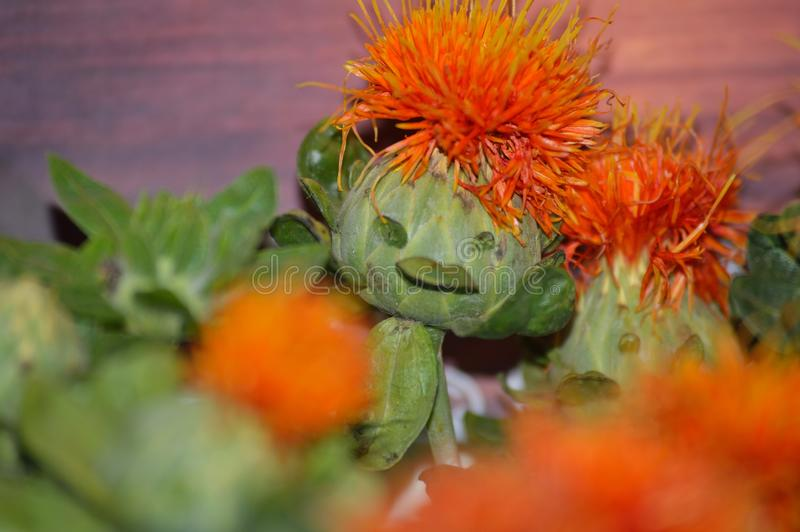 Cara engraçada em uma flor do cártamo foto de stock
