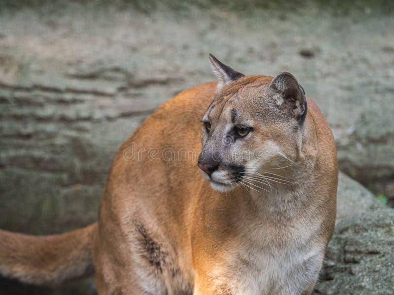 Cara fêmea adulta do concolor do puma do puma com olhos tristes foto de stock royalty free