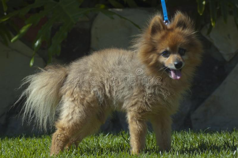 Cara feliz marrom bonito do cão de cachorrinho da raça da mistura com treinamento da trela da língua para fora na grama foto de stock