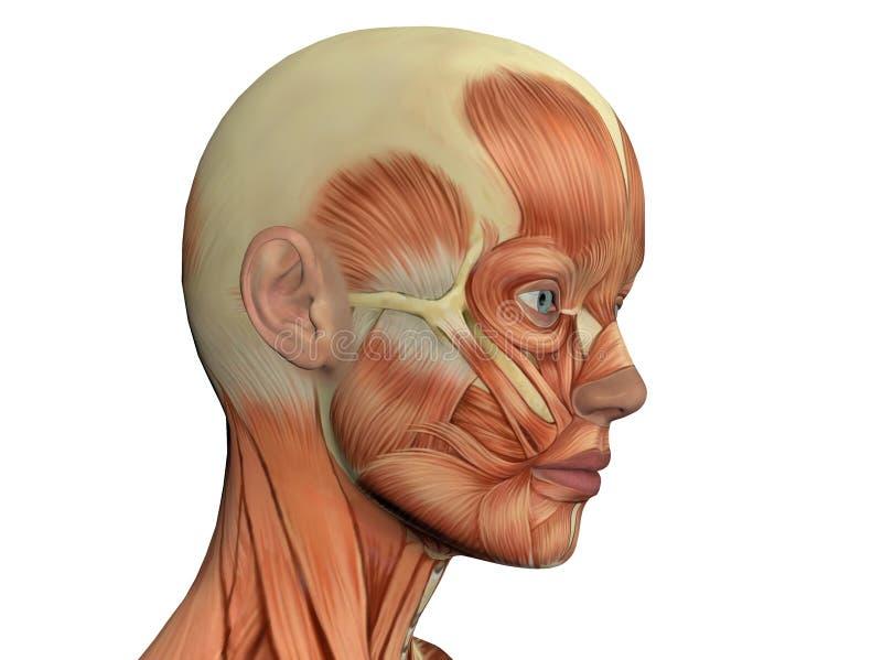 Cara femenina que muestra los músculos ilustración del vector