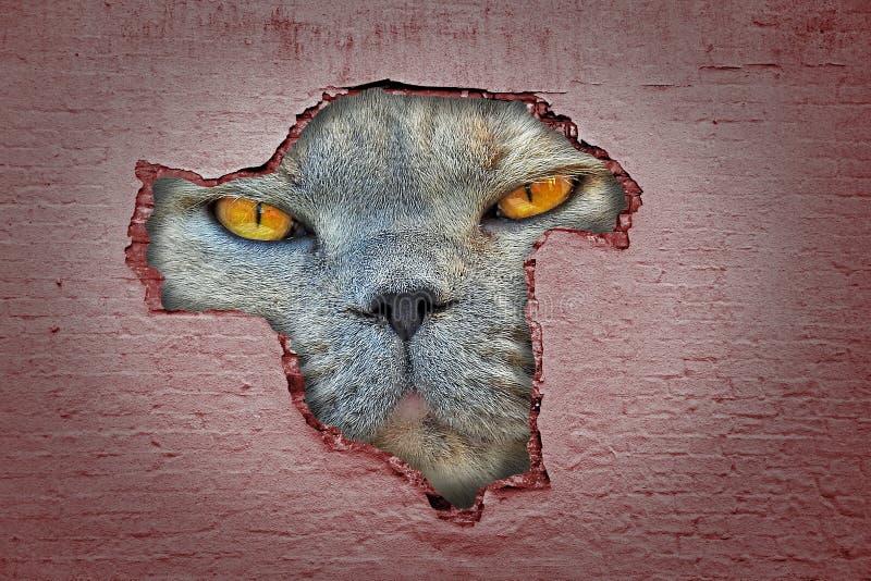 Cara gigante do gato que espreita a vista através do furo na parede imagem de stock royalty free