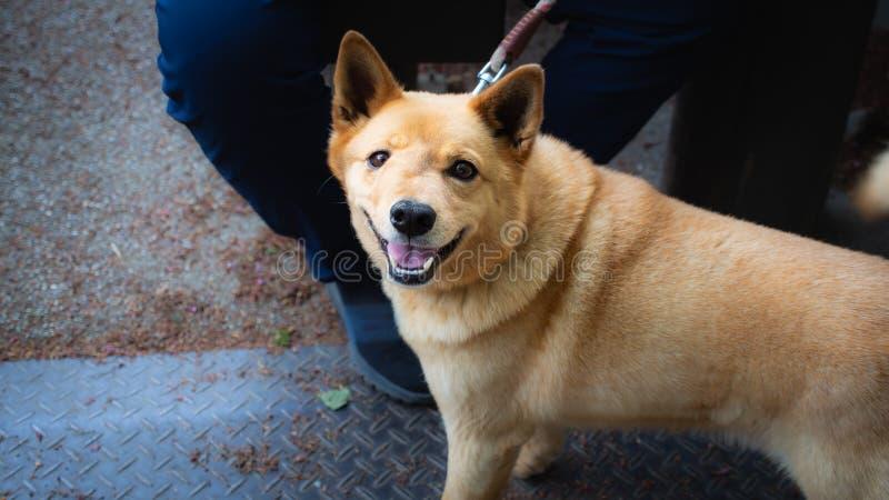 Cara inchada do cão amarelo fotografia de stock royalty free