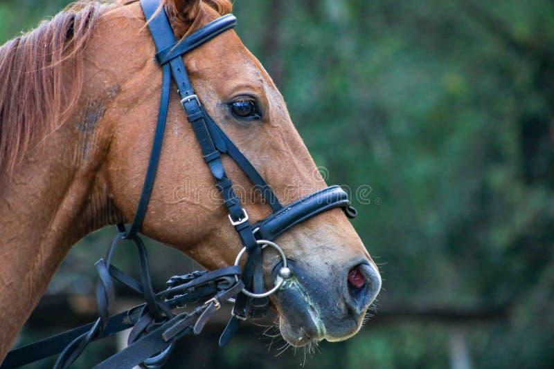 Cara lateral del caballo foto de archivo libre de regalías