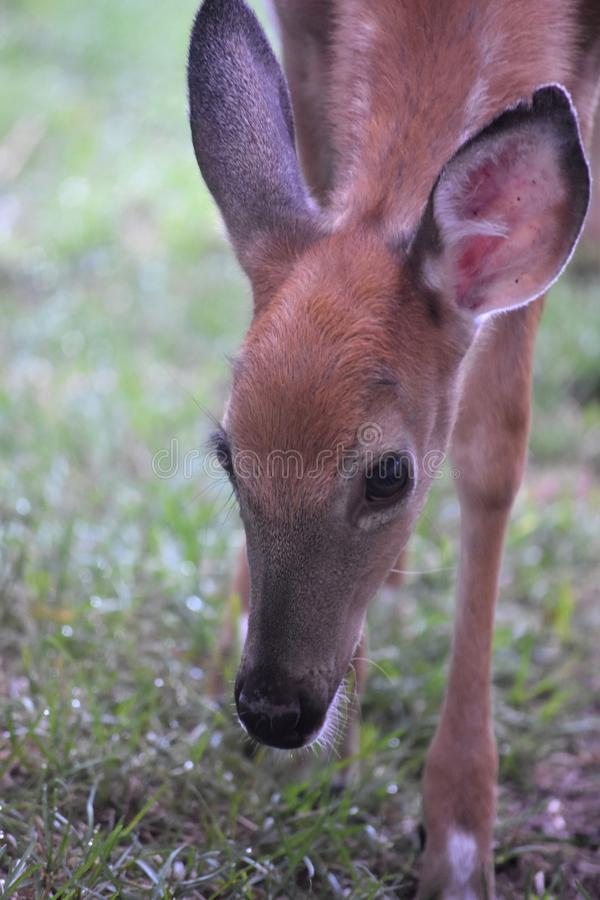 Cara linda de un ciervo joven en el salvaje fotos de archivo libres de regalías