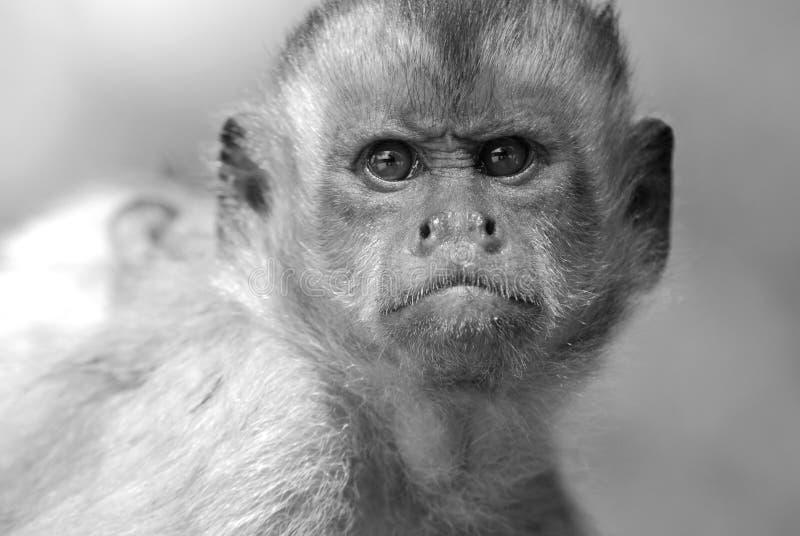 Cara olhando de sobrancelhas franzidas do macaco imagem de stock