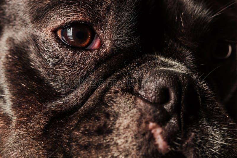 Cara, olhos e nariz de um buldogue francês bonito fotos de stock royalty free