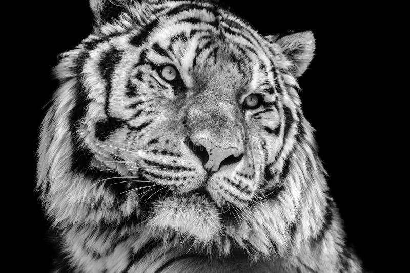 Cara preto e branco poderosa do tigre do contraste alto fotos de stock royalty free