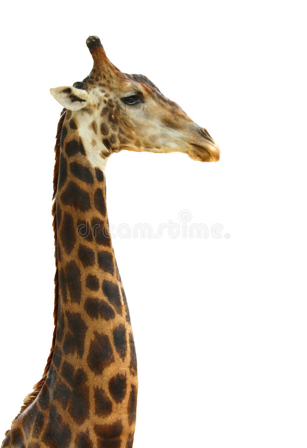 Cara principal do girafa fotos de stock