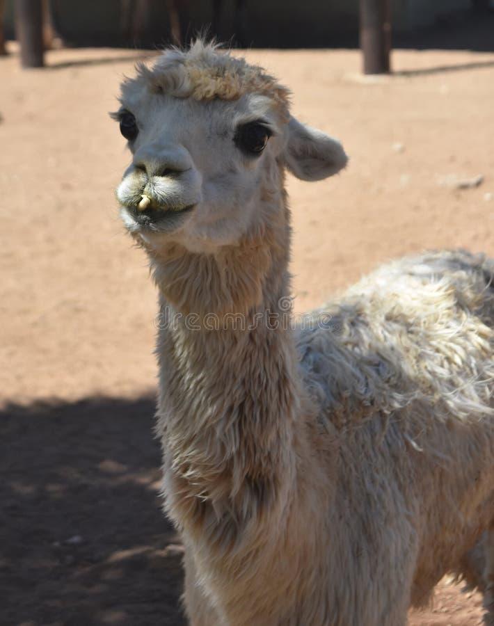 Cara realmente linda de Shaggy White Alpaca fotografía de archivo