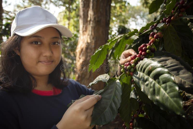 Cara sonriente dentuda de una mujer adolescente asiática más joven que cosecha la semilla fresca del café del arabica en la plant imagen de archivo libre de regalías