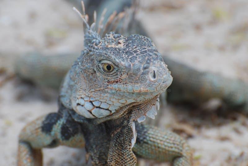 Cara surpreendente de uma iguana que levanta na luz do sol fotos de stock royalty free