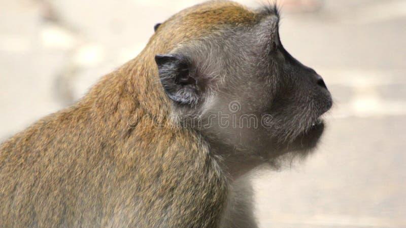 Cara vazia do macaco em Singapura fotografia de stock