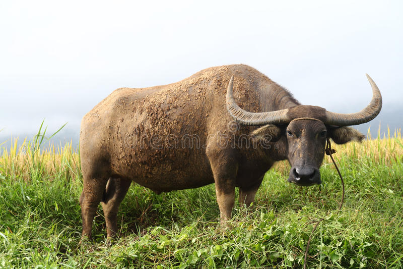 Download Carabao stock image. Image of agriculture, cattle, wildlife - 16382743