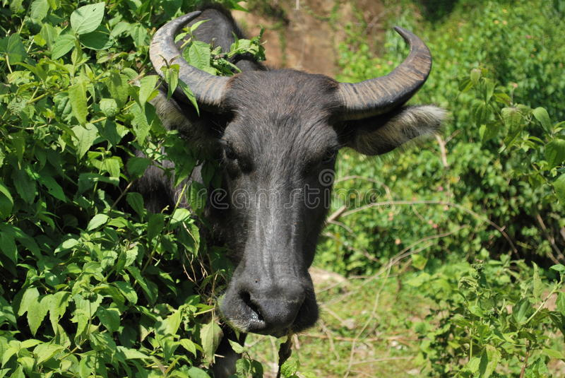 Carabao Face the national animal of the Philippines stock images