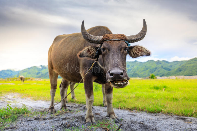 Carabao o bufalo d'acqua fotografie stock libere da diritti