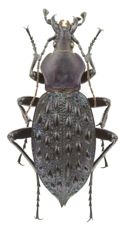 Carabus pustulifer stock image