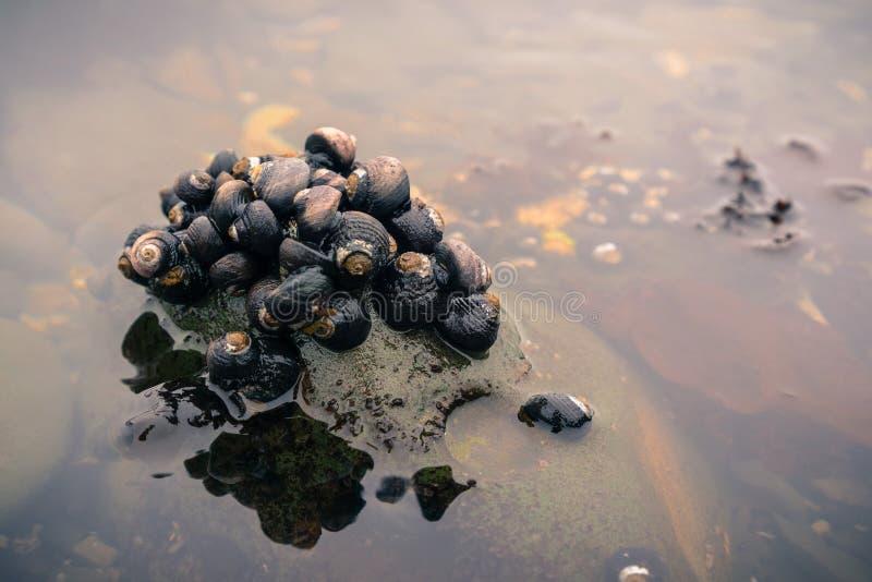 Caracóis de mar nos tidepools de Fitzgerald Marine Reserve imagem de stock royalty free