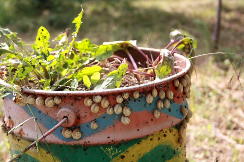 Caracóis que sentam-se no oxidado velho e pintados barral no jardim pest imagens de stock royalty free