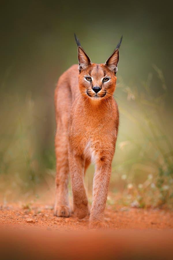 Caracal,非洲天猫座,在绿草植被 美丽的野生猫在自然栖所,博茨瓦纳,南非 对fac的动物面孔 库存图片
