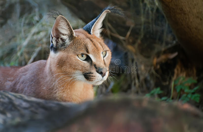 Download Caracal stock image. Image of hunter, nice, green, whiskers - 20814869