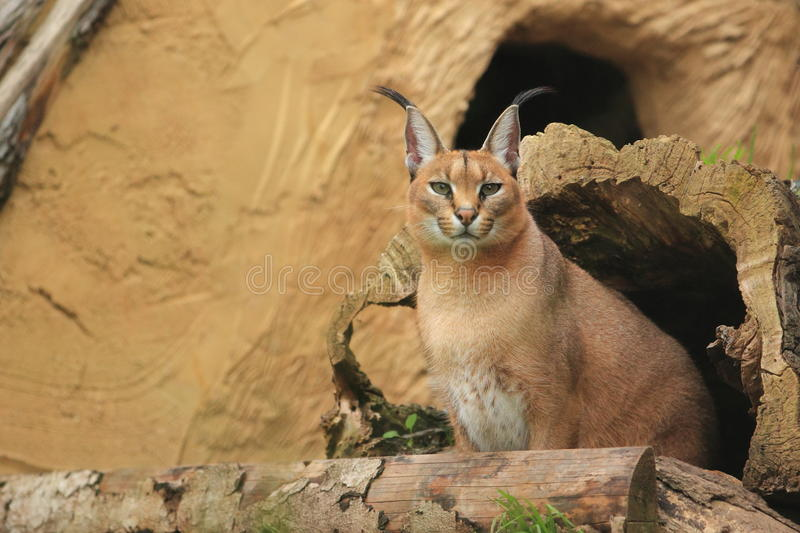 Download Caracal stock image. Image of lynx, persian, sitting - 27168031