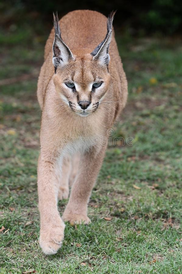 Caracal or African Lynx stock image