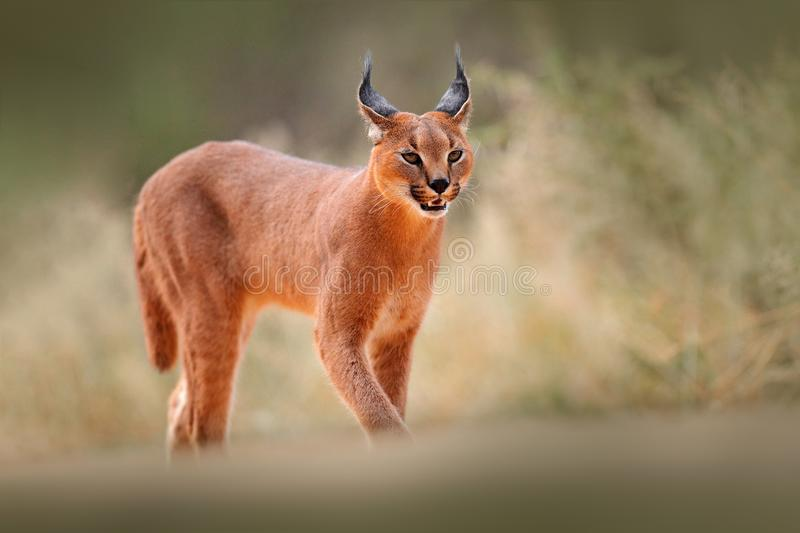 Caracal, African lynx, in dry sand desert. Beautiful wild cat in nature habitat, Kgalagadi, Botswana, South Africa. Animal face to. Face walking on gravel royalty free stock image