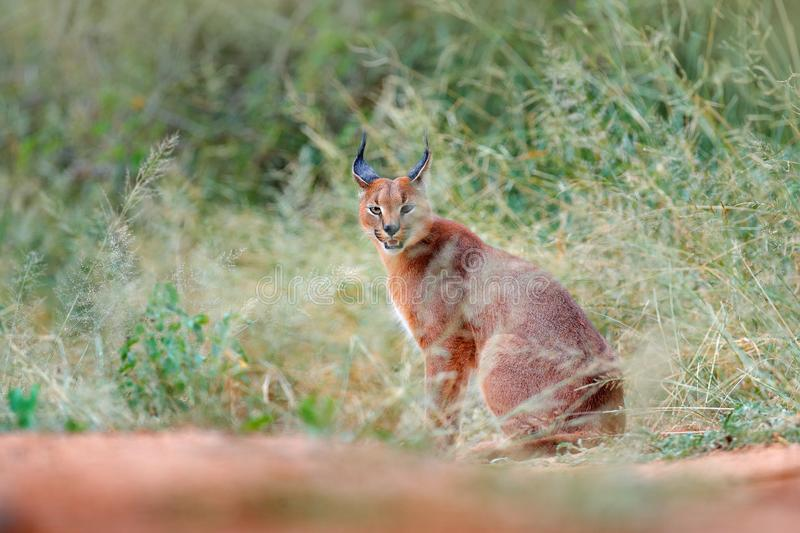 Caracal, African lynx, hidden in green grass vegetation. Beautiful wild cat in nature habitat, Botswana, South Africa. Animal in b stock images