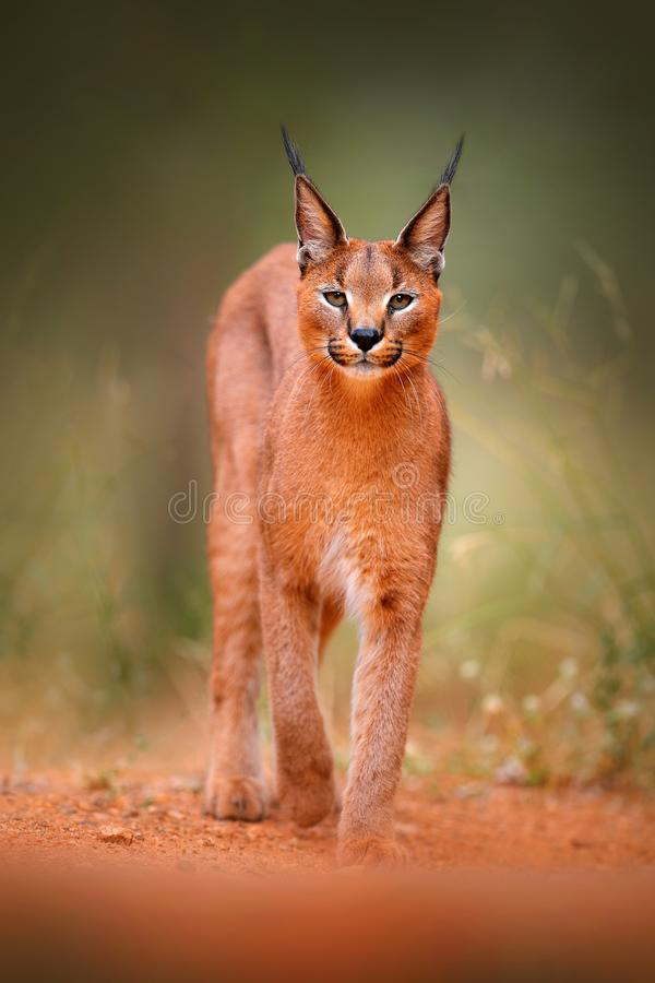 Free Caracal, African Lynx, In Green Grass Vegetation. Beautiful Wild Cat In Nature Habitat, Botswana, South Africa. Animal Face To Fac Stock Images - 121943404