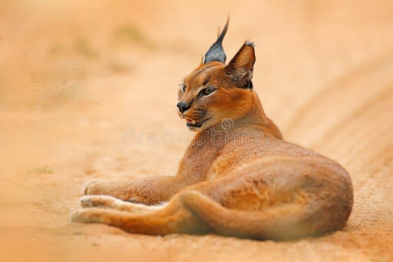 Caracal, African lynx, in orange sand desert, Etosha NP, Namibia. Beautiful wild cat in nature habitat, South Africa. Animal face. To face sitting on gravel royalty free stock image