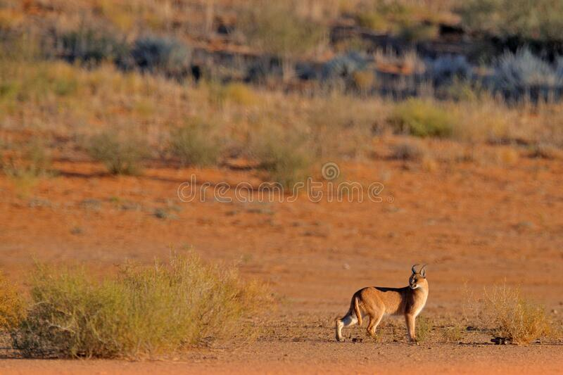 Caracal, African lynx, in red sand desert. Beautiful wild cat in nature habitat, Kgalagadi, Botswana, South Africa. Animal face to stock photography