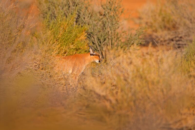 Caracal, African lynx, in red sand desert. Beautiful wild cat in nature habitat, Kgalagadi, Botswana, South Africa. Animal face to royalty free stock image