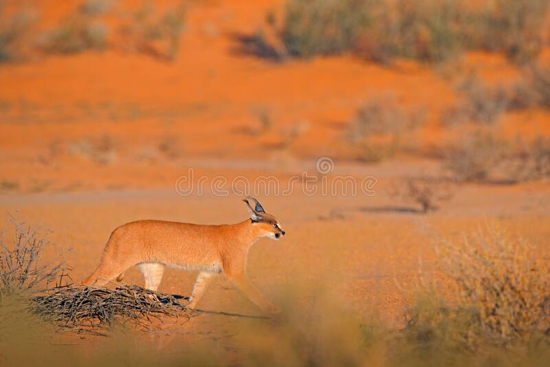 Caracal, African lynx, in red sand desert. Beautiful wild cat in nature habitat, Kgalagadi, Botswana, South Africa. Animal face to royalty free stock photo