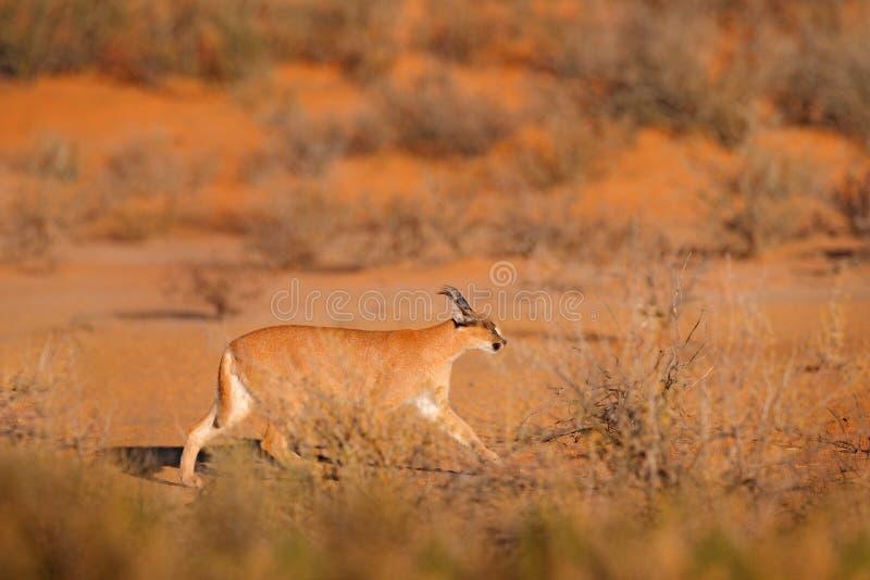 Caracal, Afrikaanse lynx, in rode zandwoestijn Mooie wilde kat in aardhabitat, Kgalagadi, Botswana, Zuid-Afrika Dierlijk gezicht  royalty-vrije stock foto