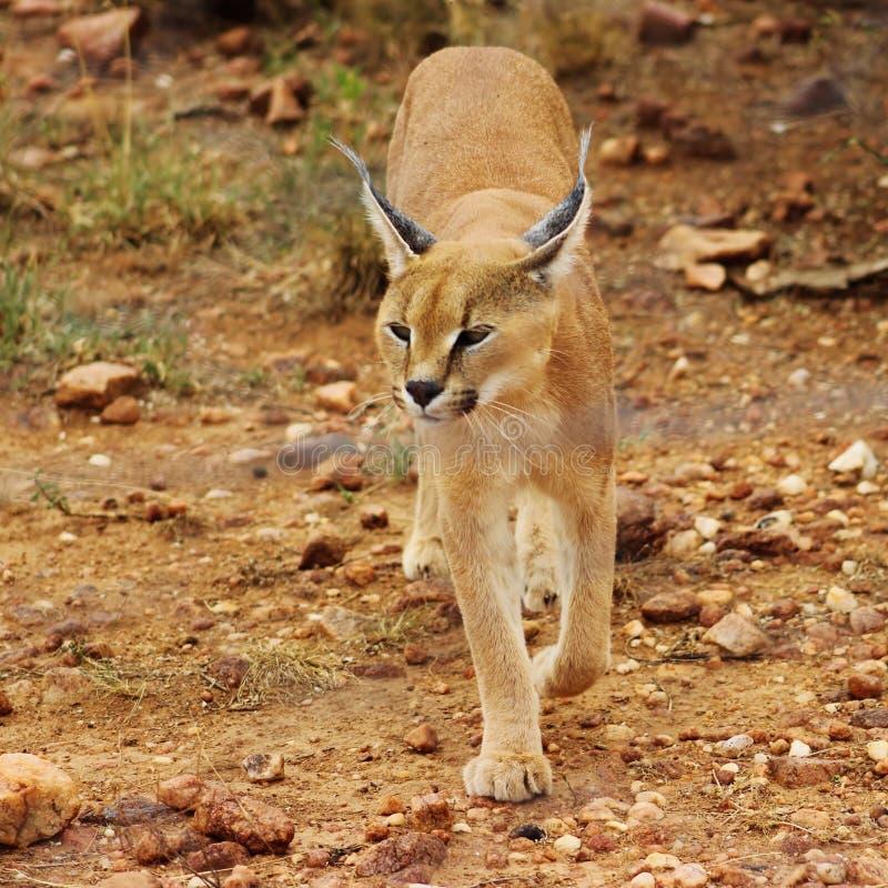 Caracal a capturé en Namibie photo stock