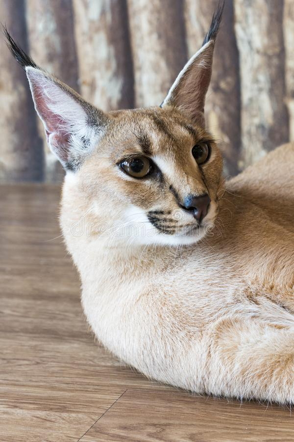 Caracal cat,kitty 8 month isolate on background,copy space royalty free stock photography