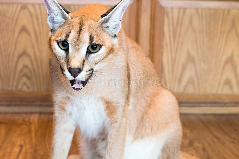 Caracal cat,kitty 8 month isolate on background,copy space stock photography