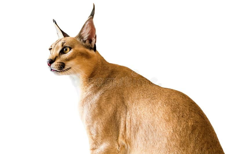 Caracal cat,kitty 8 month isolate on background,copy space royalty free stock image
