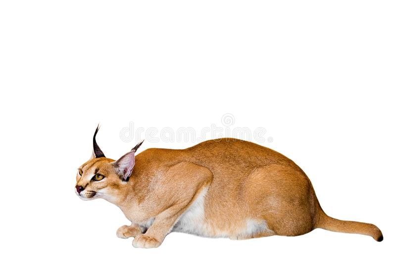 Caracal cat,kitty 8 month isolate on background,copy space royalty free stock photos