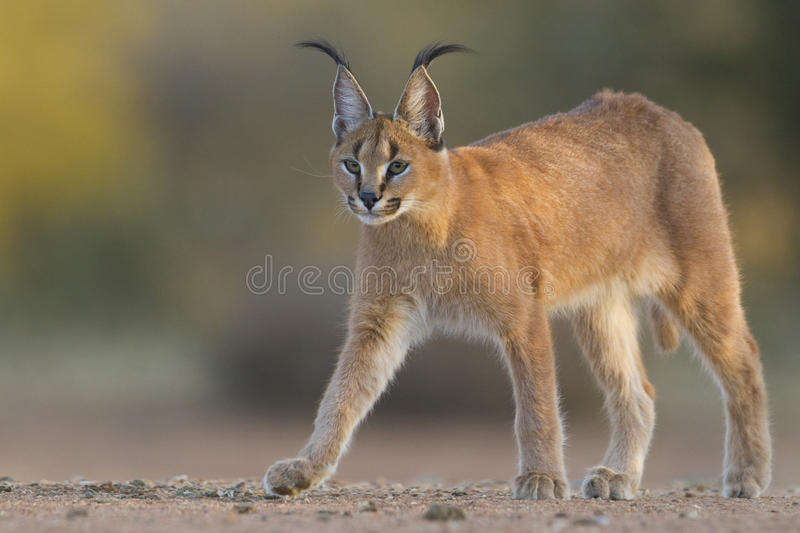 Caracal che cammina, Sudafrica, (Felis caracal) immagine stock