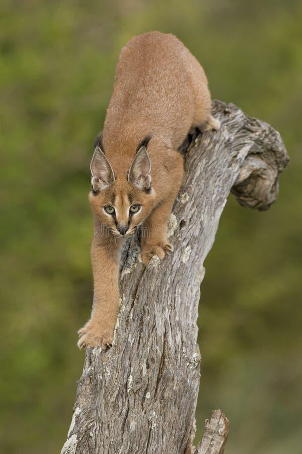 Caracal (Felis caracal) che cammina giù l'albero Sudafrica immagine stock libera da diritti