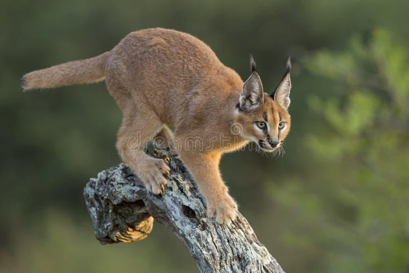 Caracal (Felis caracal) che cammina giù l'albero Sudafrica fotografie stock libere da diritti
