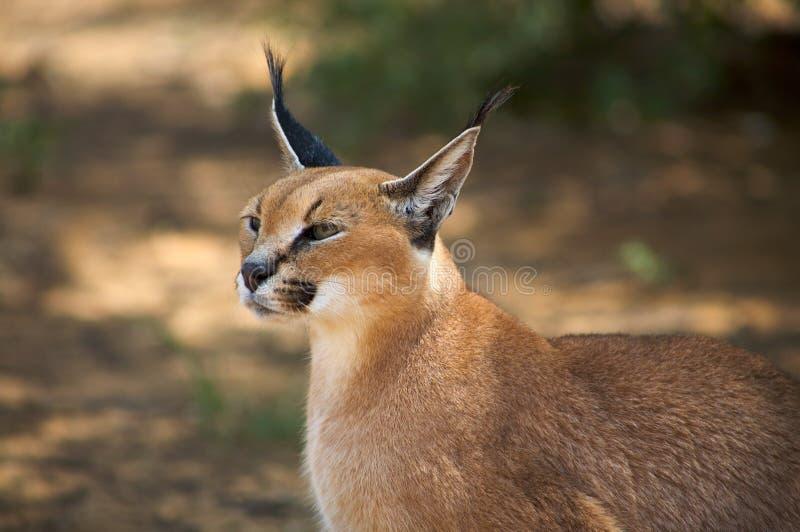 Download Caracal stock image. Image of background, hunter, predator - 32875723