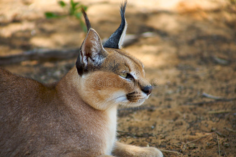Download Caracal Stock Photography - Image: 32877942